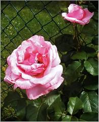 Pink hybrid tea (MissyPenny) Tags: pink flower rose garden hybrid hybridtea bristolpennsylvania