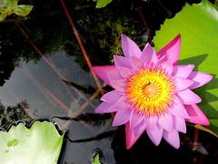Flower (۞ HenryRosco) Tags: flowers nature water photography dominicanrepublic teamnikon newphotographers