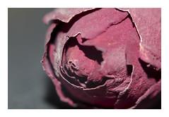 Rosa de Alejandria (Sonia_Ggonzalez) Tags: macro nikon flor rosa minirosa d7000