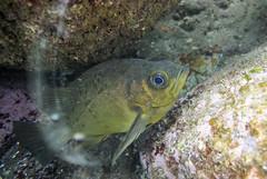 20150530-DSC_0836.jpg (d3_plus) Tags: sea sky fish nature japan scenery underwater snorkeling   shizuoka    izu  manaduru kotogahama   skindiving minamiizu      nikon1  hirizo  nakagi nikon1j1  1nikkorvr1030mmf3556pdzoom
