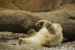 Eisbr Lilli im Zoo Bremerhaven 30.04.2016 Teil 2  14 (Fruehlingsstern) Tags: sunset sonnenuntergang polarbear lloyd lili bremerhaven zooammeer valeska eisbr canoneos750 tamron16300
