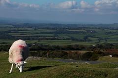News Day Livestock 1 (jadedyermedia) Tags: road car speed sheep accident devon awareness incident livestock dartmoor increase collision dartmoornationalpark