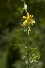 Echeandia texensis (Layla Dishman) Tags: asparagaceae