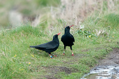Mr and Mrs (thesetter) Tags: bird birds cornwall volunteering chough rspb pyrrhocoraxpyrrhocorax choughs choughwatch
