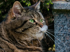 Ahem, Cleo, there is something on your nose ... (FocusPocus Photography) Tags: pet animal cat nose feline chat tabby feather kitty gato katze cleo haustier nase tier feder getigert