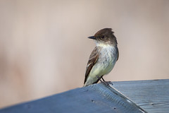 Eastern Phoebe (ingridvg) Tags: bird phoebe easternphoebe