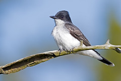 Eastern Kingbird (Brian E Kushner) Tags: road new bird water birds animals river ed nikon maurice wildlife birding landing watershed jersey matts nikkor eastern vr afs d500 birdwatcher delawarebay kingbird easternkingbird tyrannustyrannus 200500mm heislerville nikond500 bkushner f56e brianekushner nikonafsnikkor200500mmf56eedvr