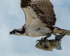 Osprey with Catch of the Day! (explored 5-13-16) (dbking2162) Tags: fish beach nature birds animal florida wildlife flight ft osprey birdofprey myers