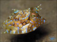Thornyback Cowfish (Lactoria fornasini) (Brian Mayes) Tags: canon underwater australia scuba diving pipeline nelsonbay cowfish 1722 g16 lactoriafornasini brianmayes thornybackcowfish canong16