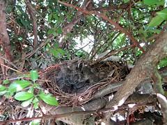 IMG_1351_Fotor01 (Ela's Zeichnungen und Fotografie) Tags: baby nest natur hannover vogel busch kcken