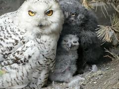 Hedwig and her Babies (BrigitteE1) Tags: hedwigandherbabies schneeeule snow snowowl buboscandiacus vogel bird babyowls babyeulen eulenkken owlchicks zoo erlebniszoohannover hanover deutschland germany europe grey flickr animals white baby specanimal