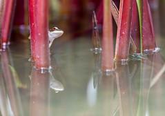 IMG_2001.jpg (bobpado) Tags: 6d canon6d canonef70300f456lisusm thalande amphibien canon canoneos frog grenouille juillet naturalpic nature naturephotographie reflet wildlife