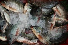 On ice (I.M.W.) Tags: bangladesh srimangol sylhet bikkabill wetland fish scales ice catch