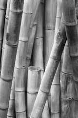 Giant Bamboo (FotoGrazio) Tags: freetodownload composition nature photographersinsandiego fotograzio digitalphotography capture plant mothernature waynegrazio photography photographicart photographersincalifornia freeimage giantbamboo bamboo waynesgrazio downloadforfree photoshoot fineart botany flickr texture sandiegophotographer phototoart contrast worldphotographer closeup pattern californiaphotographer art artofphotography botanical explore internationalphotographers stalks blackandwhite 500px freepicture