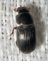 Aphodiine Dung Beetle, Ataenius sp. (Seth Ausubel) Tags: coleoptera scarabaeidae