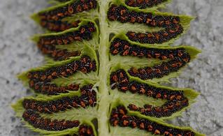 Polystichum lonchitis (northern holly fern)