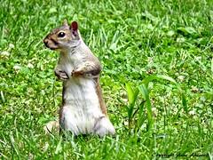 Gray Squirrel (--Anne--) Tags: squirrel squirrels easterngraysquirrel gray cute animals nature wildlife