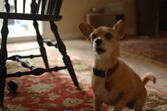 DSC_0020 (ghoulia) Tags: dogs dogvacay rovercom mutts chihuahua yorkie pomeranian