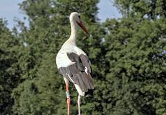 Cigogne attentive (Chemose) Tags: oiseau parc cigogne stork parcdesoiseaux park ain villarslesdombes dombe france canon eos 7d hdr juillet july summer