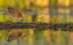 IMG_2218 (Simonas Minkeviius) Tags: alittlebeauty rallusaquaticus waterrail wetland bird coth5 platinumheartaward