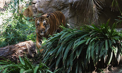 Nature never did betray the heart that loved her... (ferpectshotz) Tags: tiger malayan pantheratigrisjacksoni sandiegozoo patrol bigcat predator carnivore mammal wild wildlife