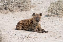 DSC_3867.JPG (manuel.schellenberg) Tags: namibia animal etosha nationalpark hyena