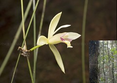 Desktop80-Wild Orchid #5 (aff. Dendrobium kurashigei) (Vince_Adam Photography) Tags: borneo wildorchids orchid orkid sabah montaneforest highlands bunga flower white orchidaceae bungaorkid wildorchid flowerofmalaysia mossyforest affdendrobiumkurashigei beautifulflower orkidliar malaysia wildflowers rainforest flora exotic exoticflowers unique wild macro macroflower wildflowersofsabah wildflowersofmalaysia wildflowersofmalaysianrainforest okid bungaokid okidliar