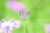 African Daisy (littlekiss☆) Tags: osteospermum africandaisy flower bokeh vandusenbotanicalgarden vancouver littlekissphotography