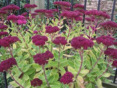 4984 Ice plant gone to seed (Andy - An idle laddy) Tags: 20161014 deeppink fff flowers iceplant iii ppp seedhead sss