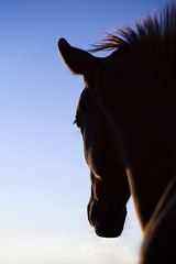 shelleypaulson_2009-181-1 (Shelley Paulson) Tags: equine foal horse minnesota silhouette sunset