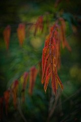Seeing Red (Melinda G Pix) Tags: outdoor fall leaves nature sumac