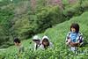 Picking in the Erihara tea fields (Obubu Tea Farms) Tags: green greentea harvest japan japanesetea obubu tea teafarm teafields wazuka