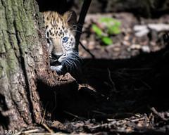 Keeping a safe distance (RJB10) Tags: endangeredcats zoo cat nikon literoom5 marwell cub bokeh blinkagain highqualityanimals cats bigcat d300s leopardcub 70200mm handheld dof leopard portrait