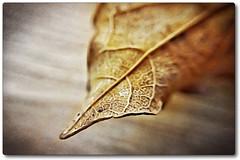 Day 291 of 366 - The Withered Edge! (editsbyjon) Tags: phototoaster picsart snapseed cortexcamera digitalart iphoneography iphone365 iphone coventry indoors depthoffield edge macromondays leaf macro photoborder