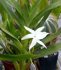 Angraecum sororium species orchid (nolehace) Tags: angraecum sororium species orchid 816 summer nolehace fz1000 bloom flower plant sanfrancisco