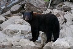 Black Bear (fascinationwildlife) Tags: animal mammal wild wildlife nature natur bc kanada canada black bear br schwarzbr predator mud lake shore banks british columbia summer
