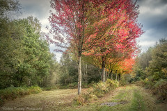 Canadian Memorial Planting (Chalky666) Tags: tree trees wood woodland maple acer leaves hampshire a3 painterly bramshott common autumn silverbirch art