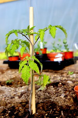 Tomato plant in polytunnel