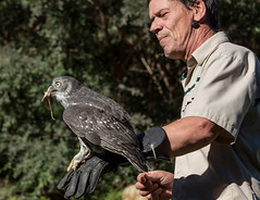 Barking Owl, Healsville Sanctuary (G Bayliss) Tags: australia victoria badgercreek ninoxconnivens healsvillesanctuary