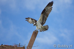 May 17, 2015 - An Osprey comes in for a landing in Longmont. (Bobby H)