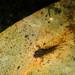 Dragonfly Larva (Odonata)