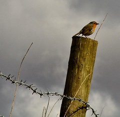 robin and barbed wire (PDKImages) Tags: bird nature monochrome robin birds wildlife flight feathers barbedwire lapwing