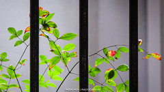 Carpark Fence (Theen ...) Tags: red green leaves vertical lumix office stem bars paint foliage glossy adelaide thin delicate carpark delicacy edges hff nandinadomestica heavenlybamboo southterrace theen happyfencefriday