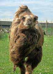 Having a bad hair day.... (littlestschnauzer) Tags: park trip shadow 2 hairy brown tourism face up animals canon ranger close wildlife yorkshire may windy visit ixus camel experience poi breeze ungulate camels bactrian humps doncaster eventoed 2015 humped camelus