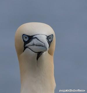 Gannets @ Bempton Cliffs