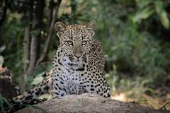 IMG_0218 (Paulschnherr) Tags: bird southafrica nationalpark wildlife lion sa predator krueger welchevondengamereserve