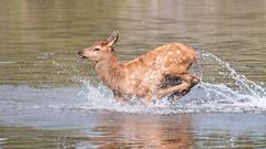 Jumping Elk Calf (shaunwilsey) Tags: colorado evergreen elk calf