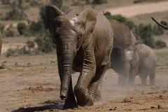 Suedafrika-49 (Lukas P Schmidt) Tags: elephant addo nationalpark elephantpark