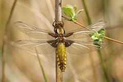 Broad-bodied Chaser ~ Libellula depressa {Explored} (Cosper Wosper) Tags: somerset levels westhay broadbodiedchaser libelluladepressa inexplore