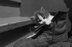 Cuteness (grimaux.jordan) Tags: bw pet white black cute cat boot shoe kitten feline little kitty cuteness overloaded